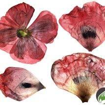 گل شقایق ۷۵ گرمی عطارین