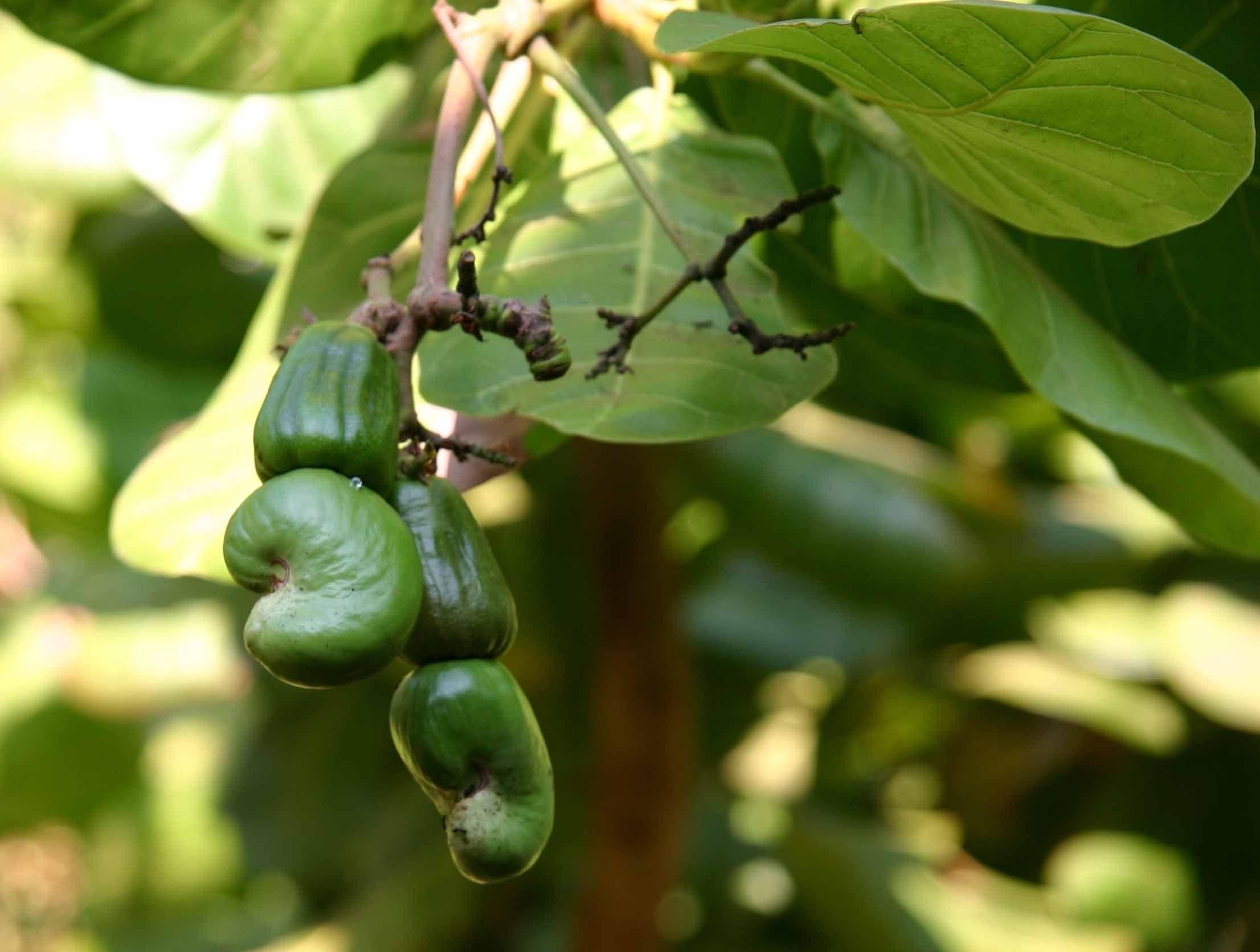 معرفی و خواص میوه بادام هندی