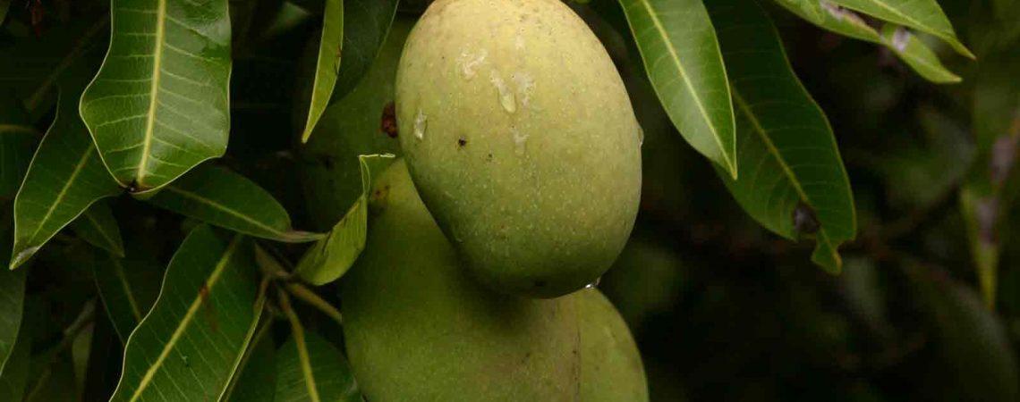 معرفی و خواص گیاه انبه از نظر طب سنتی