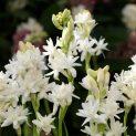 مصارف و کاربردهای گل مریم از نظر طب سنتی