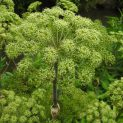 رادیو عطارین | در مورد گیاه گلپر چقدر اطلاعات دارید؟