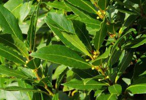 در خصوص گیاه برگ بو چه میدانید