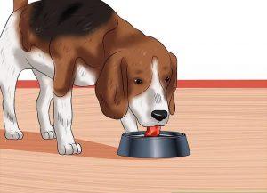 کروناویروس در سگ در سگ های بزرگسال