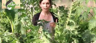 گیاه بنگ دانه چیست و چه خواصی دارد؟