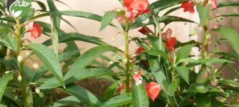 از خواص گل بی صبر چه می دانید؟