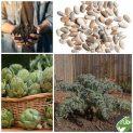 پکیج کاشت گیاه دارویی کنگرفرنگی ( آرتیشو )