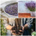 پکیج کاشت گیاه دارویی اسطوخدوس