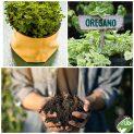 پکیج کاشت گیاه دارویی پونه کوهی ( ارگانو )