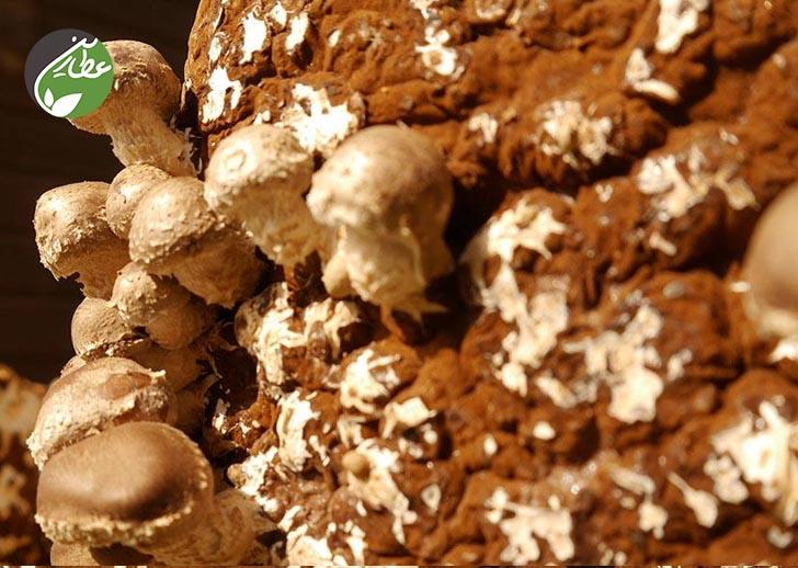 پرورش قارچ شیتاکه در خانه