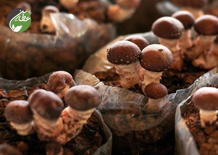 پرورش قارچ شیتاکه